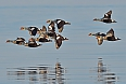King Eiders (Photo credit: Tony Beck)