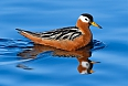 Red Phalarope (Photo credit: Tony Beck)